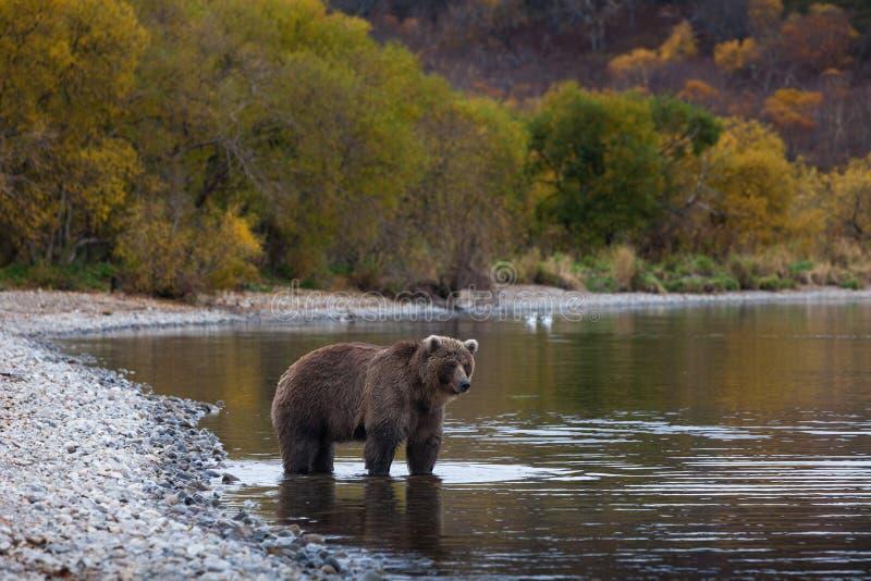 Brunbjörn Kamchatka fotografering för bildbyråer