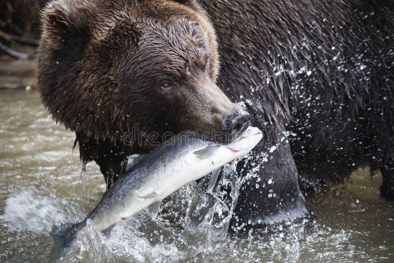 Brunbjörn med ett nytt lås av laxen royaltyfri bild