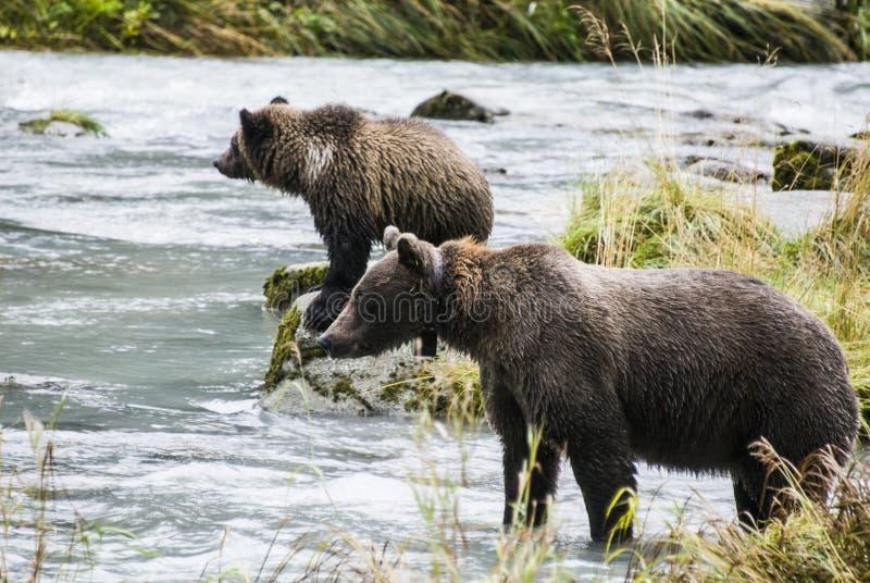 Brunbjörn - modern undervisar gröngölingen att fånga fisken royaltyfri foto