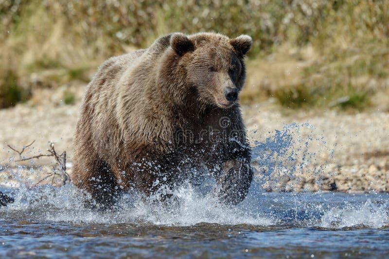 Brunbjörn på Alaska Katmai arkivfoto
