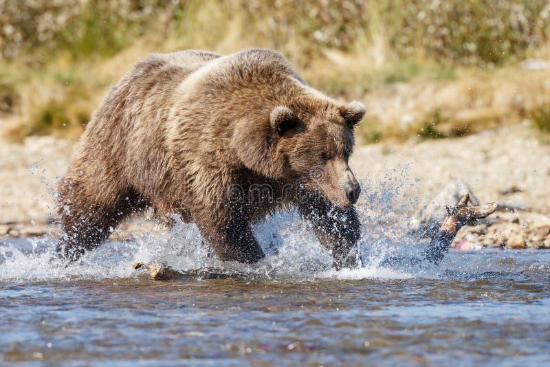 Brunbjörn på Alaska Katmai royaltyfri foto