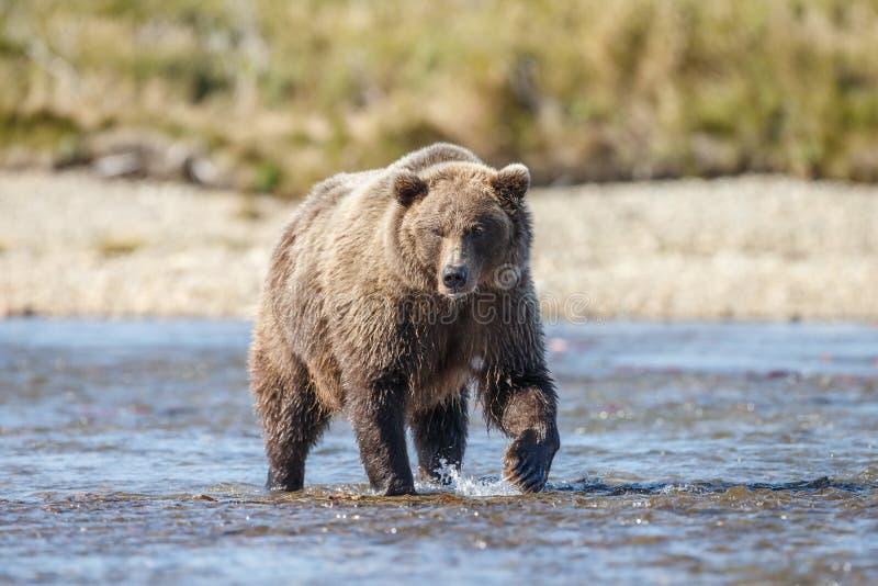 Brunbjörn på Alaska Katmai royaltyfri fotografi
