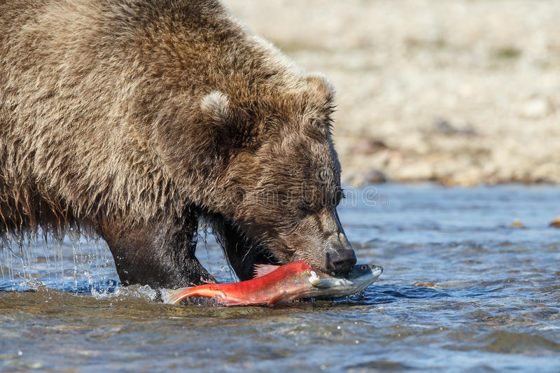 Brunbjörn på Alaska Katmai royaltyfria bilder