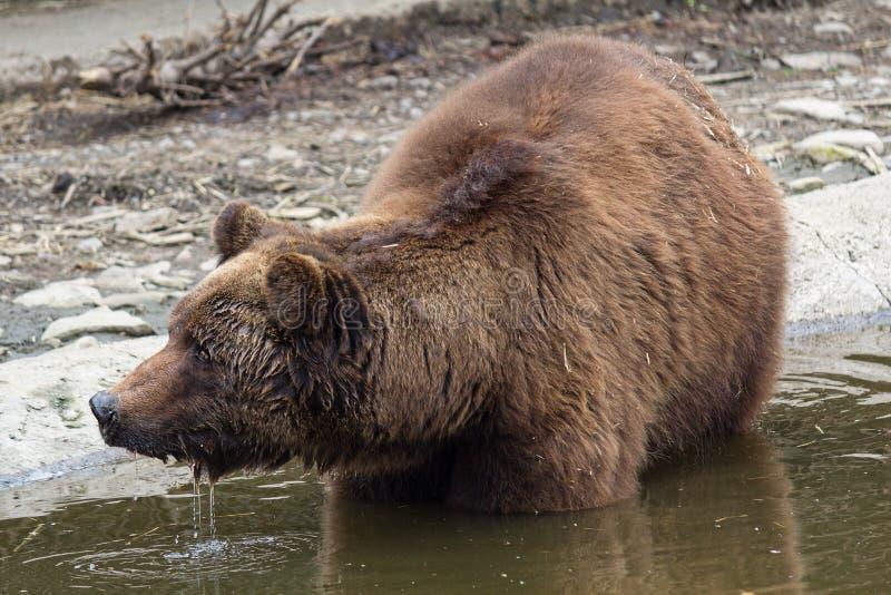 Brunbjörn som badar i dammet arkivbilder