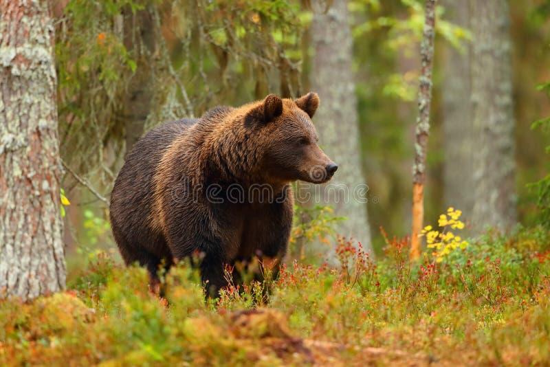 Brunbjörn som går i en färgrik skog arkivfoto