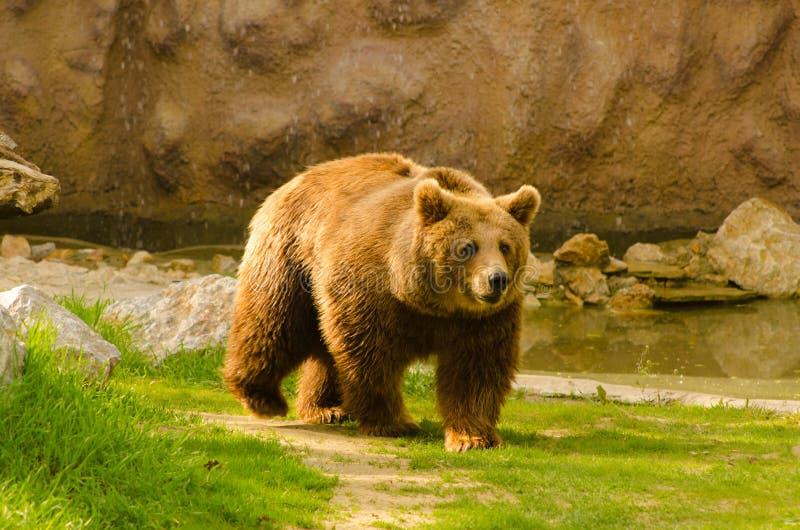 Brunbjörn som går i zoo royaltyfria foton