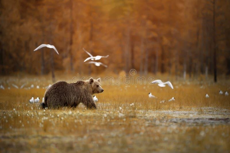 Brunbjörn som korsar träsket arkivbild