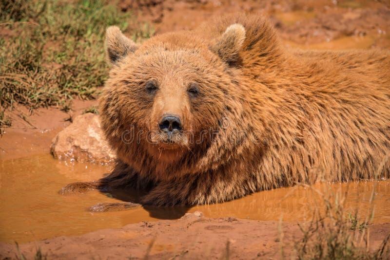 Brunbjörn som ligger i gyttja i solljus royaltyfria foton