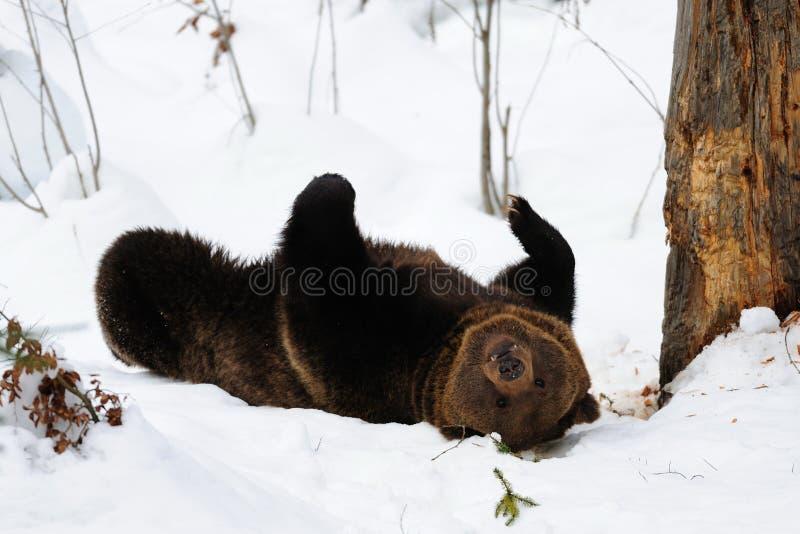 Brunbjörn som spelar i snö royaltyfri bild