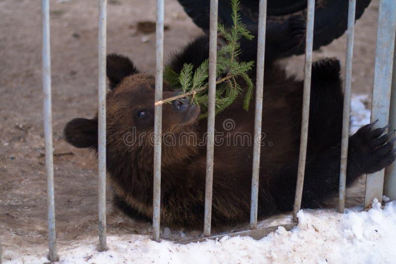 Brunbjörn som spelar med en kvist av gran royaltyfria foton