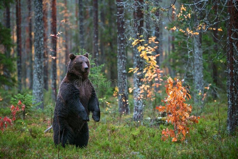 Brunbjörn som står på hans bakre ben i höstskogen royaltyfri foto