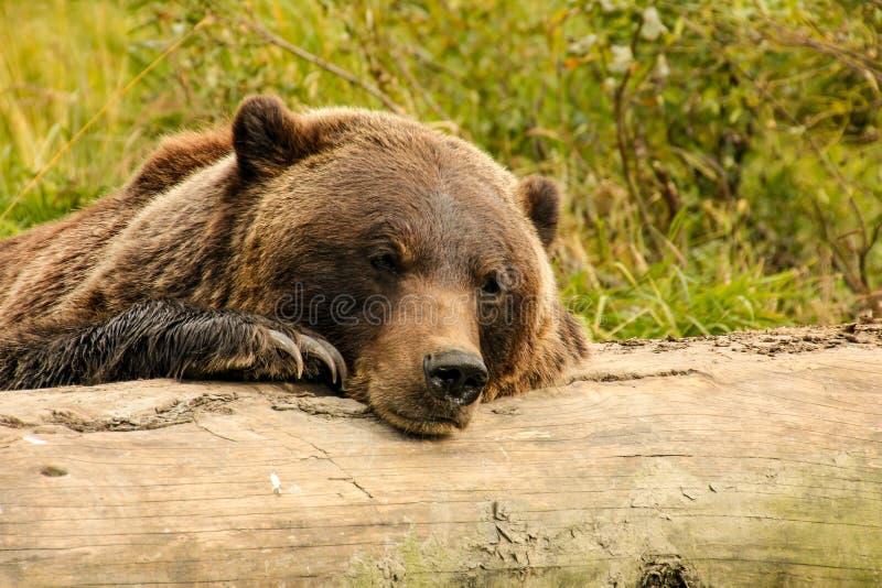 Brunbjörn som vilar på en journal royaltyfria bilder