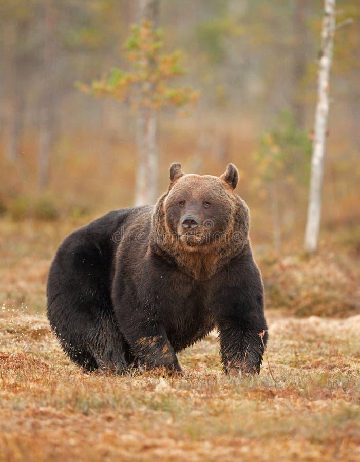 brunbjörn ursusarctos, Finland arkivfoto
