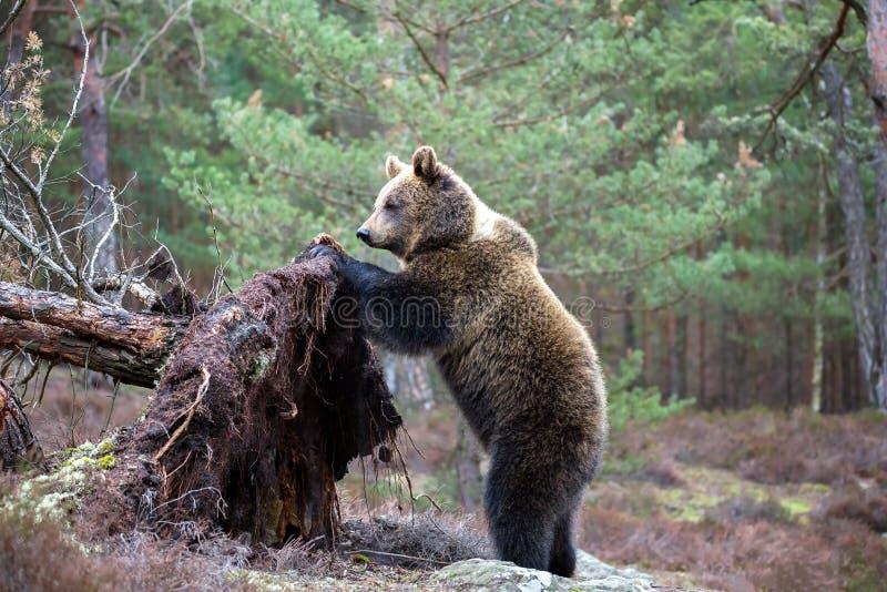 Brunbjörn (Ursusarctos) i vinterskog royaltyfria bilder