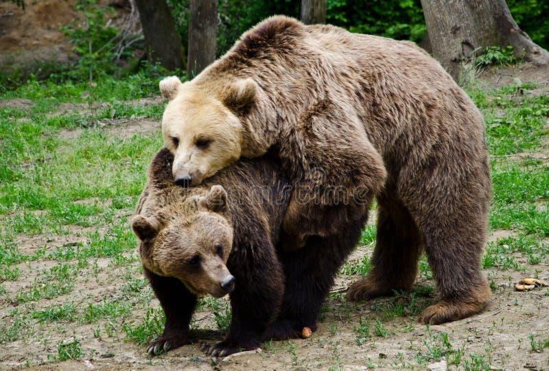 Brunbjörnar royaltyfri bild