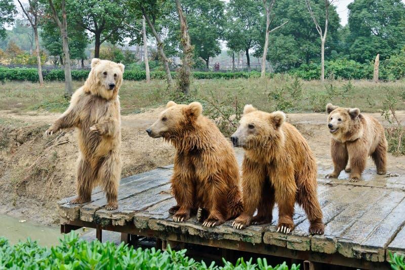 Brunbjörnar arkivbilder