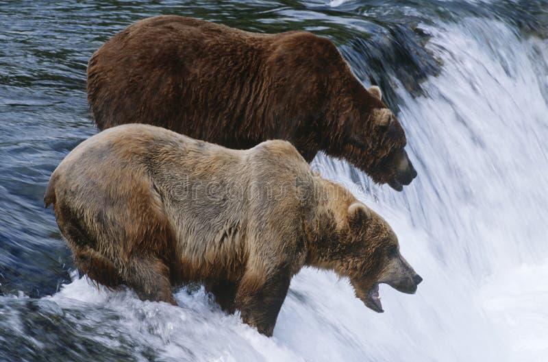 Brunbjörnar för USA Alaska Katmai nationalpark som två står i floden ovanför vattenfallet arkivbilder