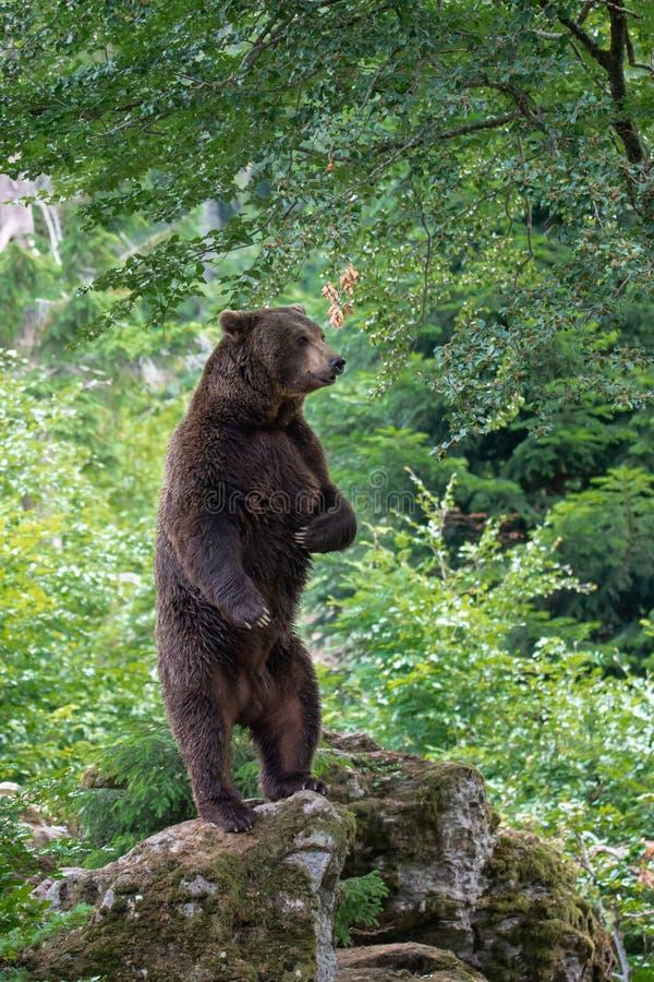 Brunbjörnen för den vuxna mannen på en sten sitter upp och tigger i skogen arkivbild
