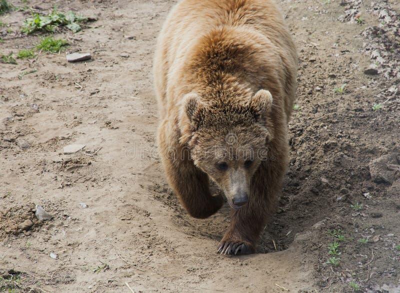 Brunbjörnen i Domazhyr uthärdar fristaden, Lviv, Ukraina arkivbild