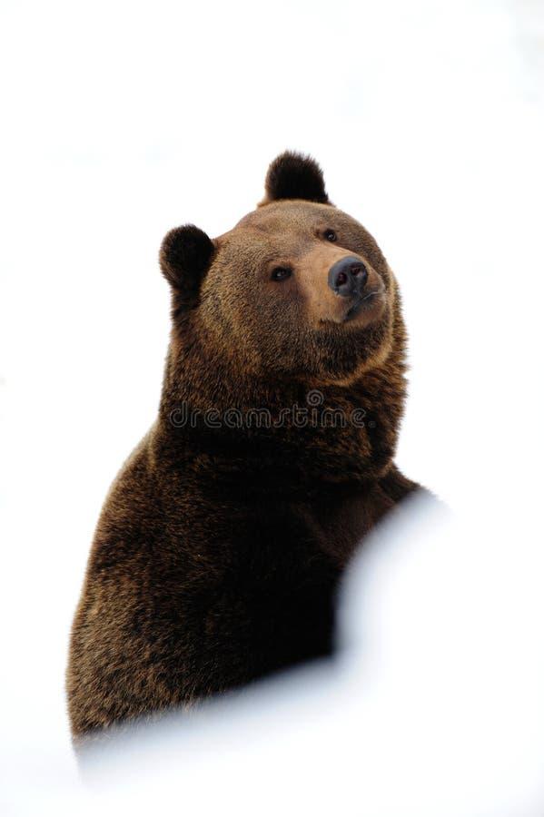 Brunbjörnen ser, vintern arkivfoto
