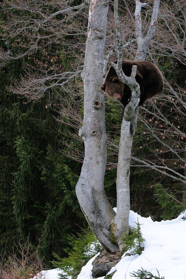 Brunbjörnen sitter i trädet royaltyfri foto