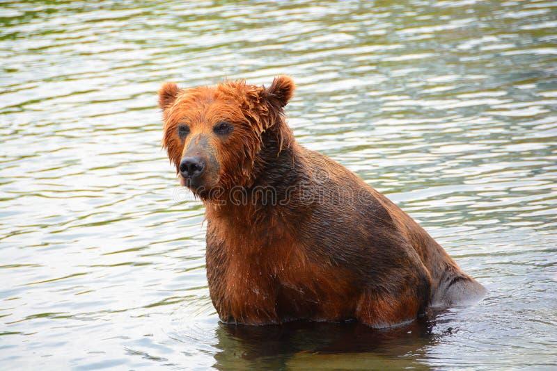 Brunbjörnen som sitter i vattnet fotografering för bildbyråer
