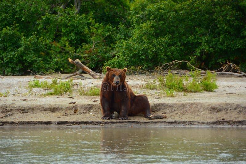 Brunbjörnen som sitter på kusten royaltyfri bild