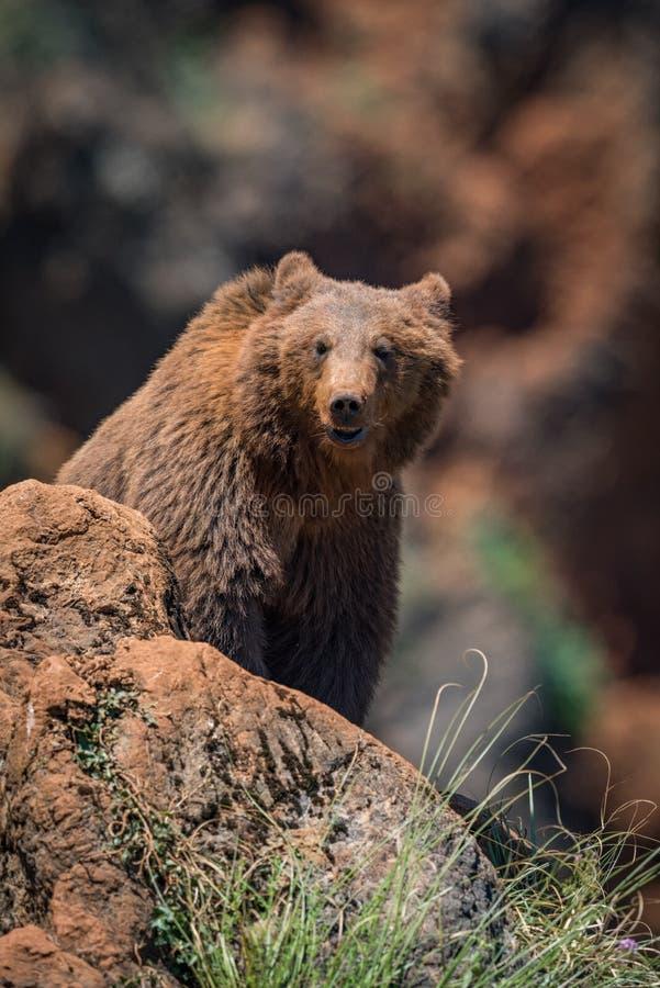 Brunbjörnen som sitter på, vaggar den belägen mitt emot kameran arkivbild