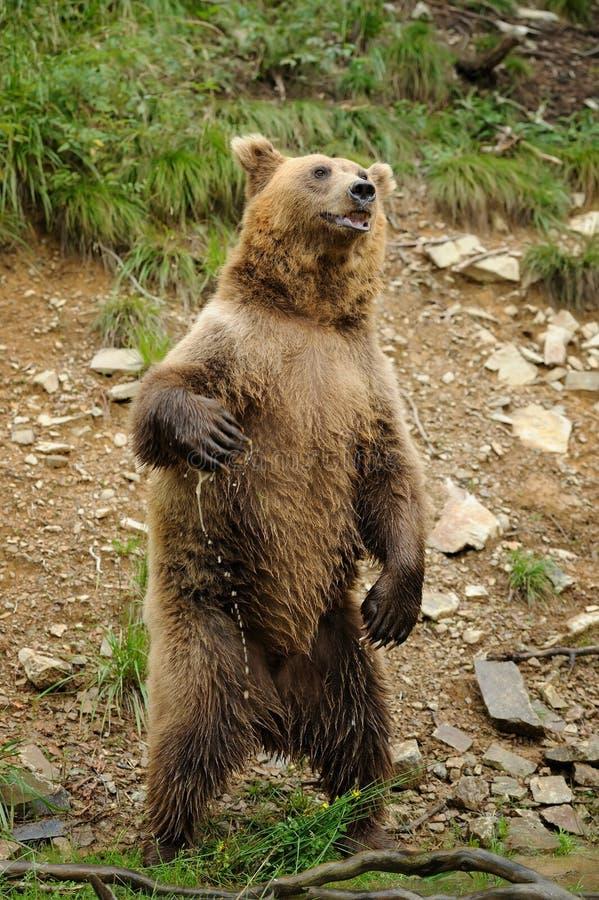 Brunbjörnen (Ursusarctos) är stående övre royaltyfria bilder