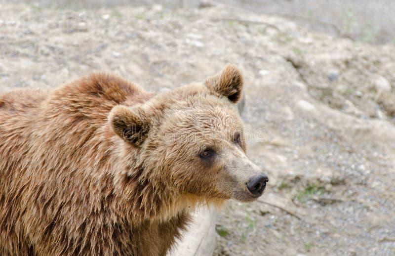 Brunbjörnen (Ursusarctos) i en zoo av Bern arkivbild