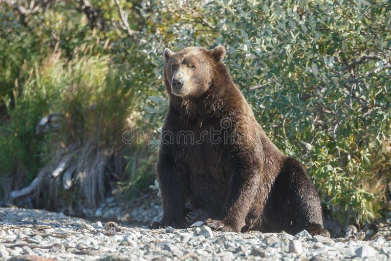Brunbjörngröngöling på Alaska Katmai arkivbild
