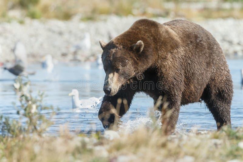 Brunbjörngröngöling på Alaska Katmai fotografering för bildbyråer