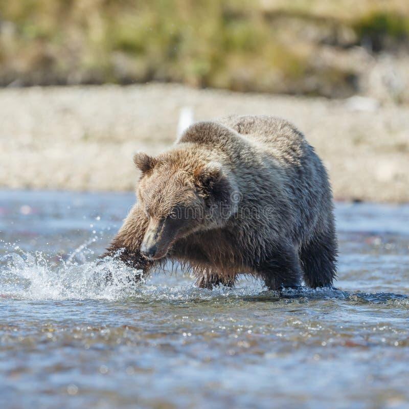 Brunbjörngröngöling på Alaska Katmai royaltyfri bild