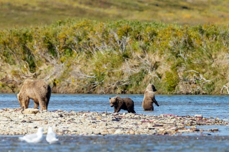 Brunbjörngröngöling på Alaska Katmai arkivfoton