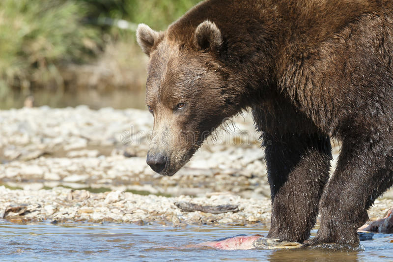 Brunbjörngröngöling på Alaska Katmai royaltyfria bilder