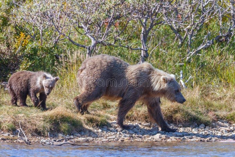 Brunbjörngröngöling på Alaska Katmai arkivbilder