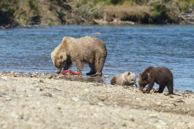 Brunbjörngröngöling på Alaska Katmai royaltyfri fotografi
