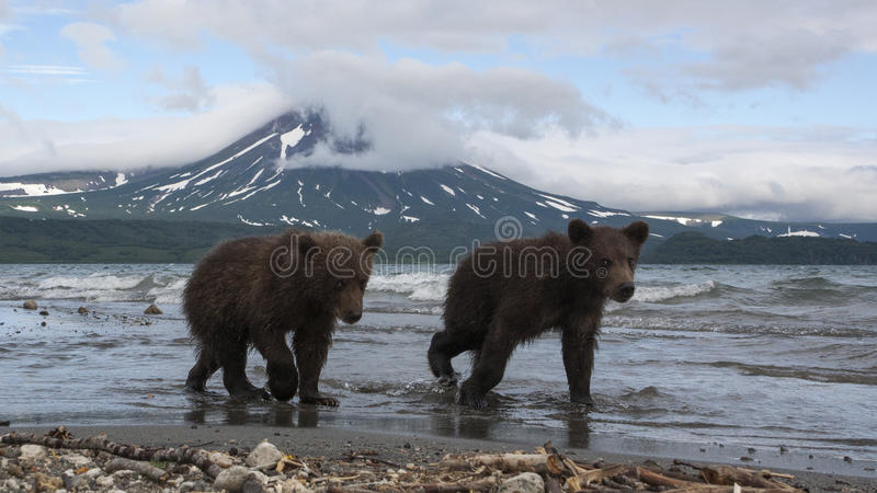 Brunbjörngröngölingar som fångar fisken i sjön royaltyfri bild