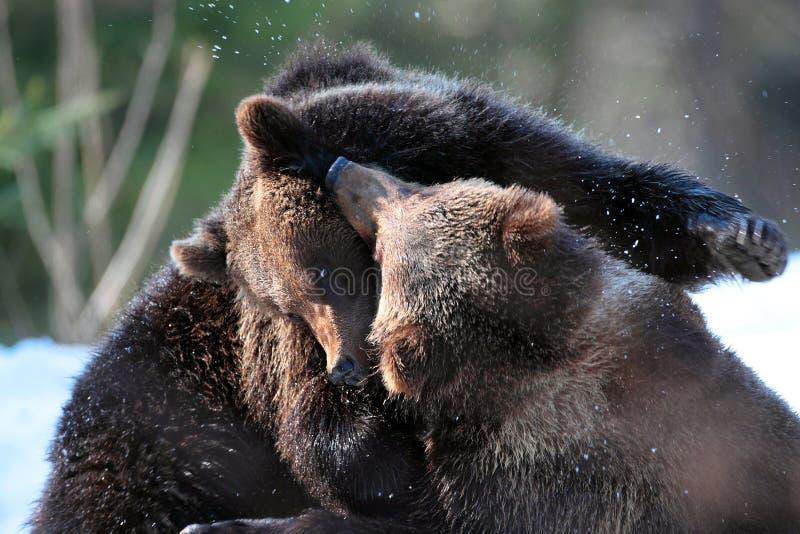Brunbjörngröngölingar som spelar in i träna royaltyfri fotografi