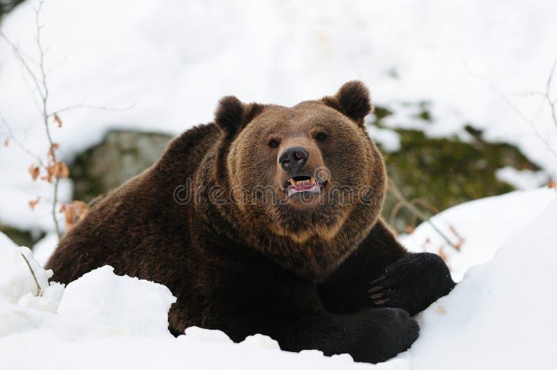 Brunbjörnlögn i snön royaltyfri fotografi