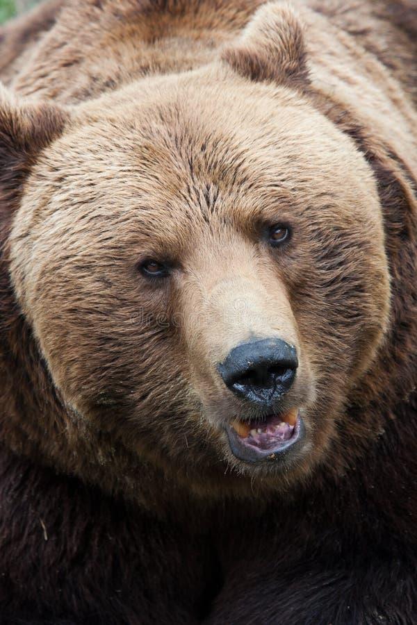 Brunbjörnnärbild royaltyfria foton