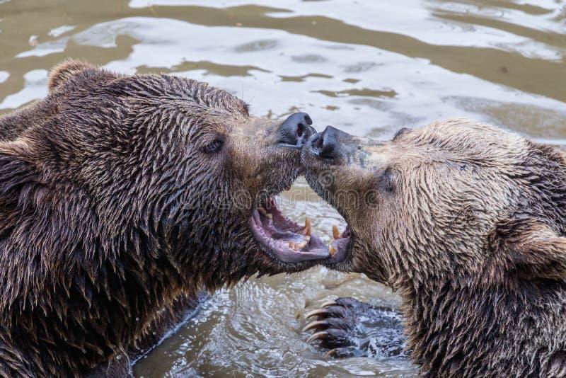 Brunbjörnparkel i vatten Lek för två brunbjörnar i vattnet royaltyfri foto