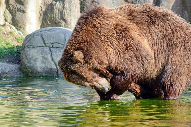 BrunbjörnUrsus Arctos Beringianus som spelar med Branxh i vatten arkivfoto