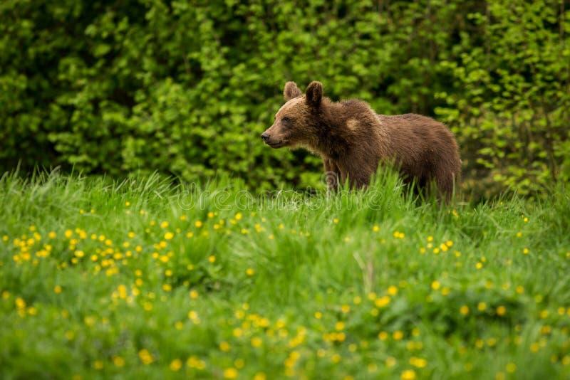 BrunbjörnUrsusarctos i ängen fotografering för bildbyråer