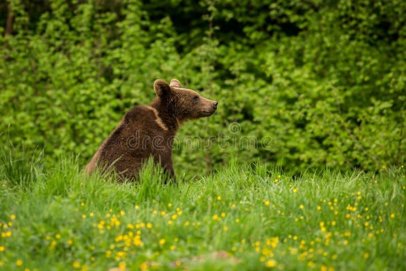 BrunbjörnUrsusarctos i ängen arkivfoto