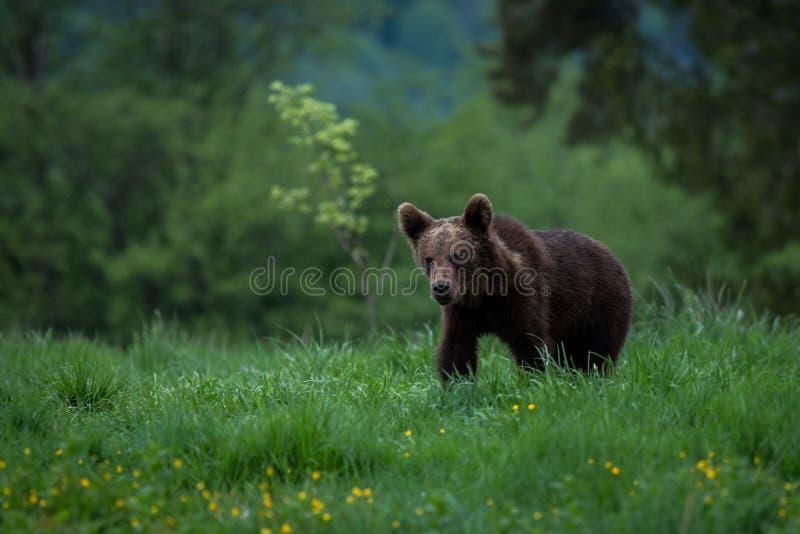 BrunbjörnUrsusarctos i ängen royaltyfri fotografi