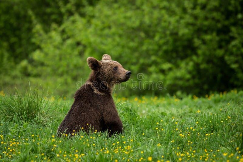 BrunbjörnUrsusarctos i ängen arkivfoton