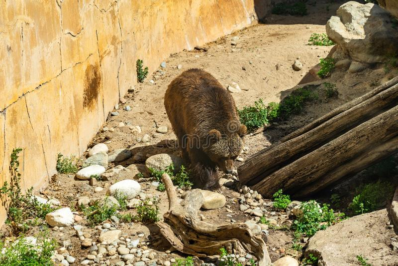 BrunbjörnUrsusarctos i den Barcelona zoo arkivfoton
