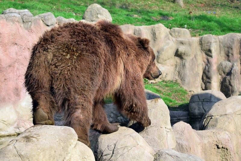 Brunbjörnursusen Arctos Beringianus vaggar på royaltyfri bild