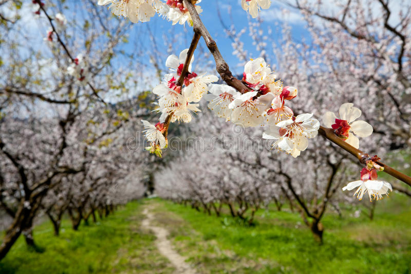 Download Brunch of apple blossoms stock photo. Image of gardening - 19612228